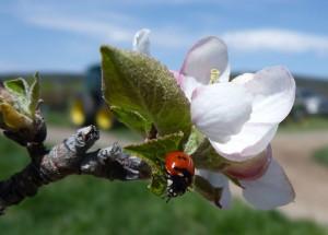 blossomladybug
